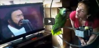parrot sings along with pavarotti