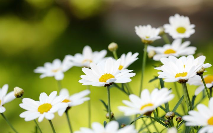 Daisies by S. Rachmaninoff