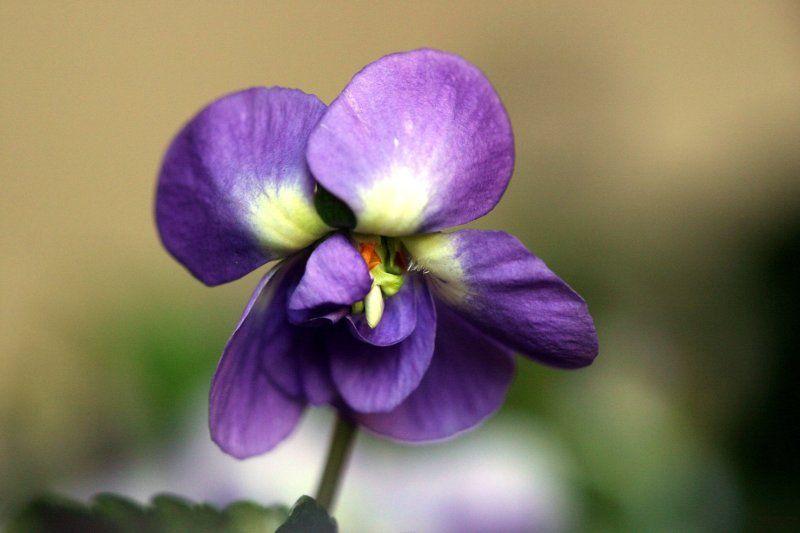 Le Violette from Pirro e Demetrio by Scarlatti