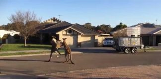 Kangaroos Fighting Set To Classical Waltz
