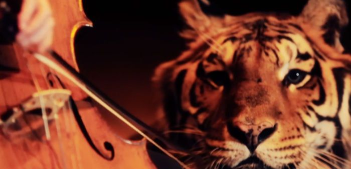 cellist kevin fox plays next to a tiger