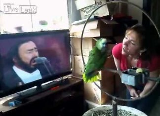 Parrot singing along with Pavarotti